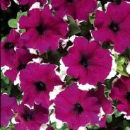 Petunia Express Burgundy Ice - 50 Pelleted seeds